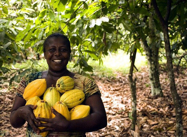 Black women holding yellow cocoa pods, standing in front of cocoa plants