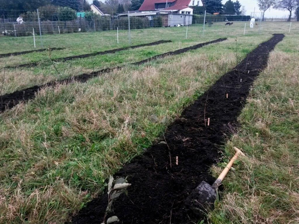Tree plantation field with four planting rows in Quesitz, Saxony, Germany