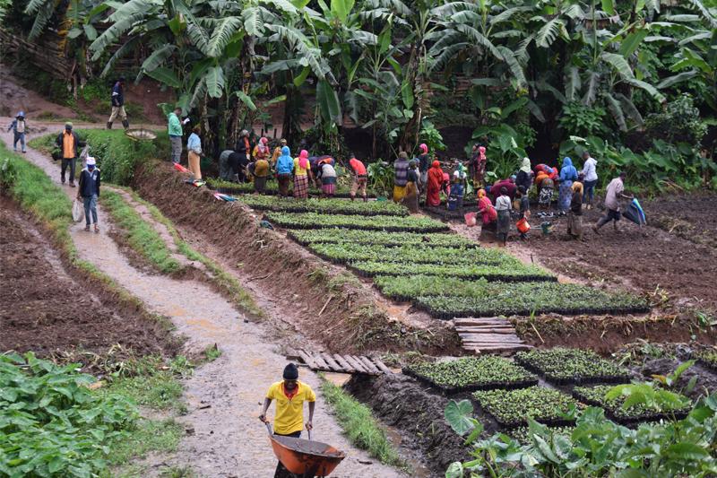 Afrikaner, die im Aufforstungsprojekt mit kleinen Baumsetzlingen in einem Aufforstungsprojekt arbeiten