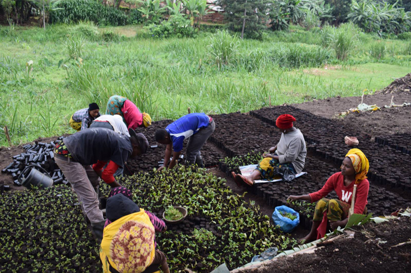 seven African people working on tree farm, young seedlings